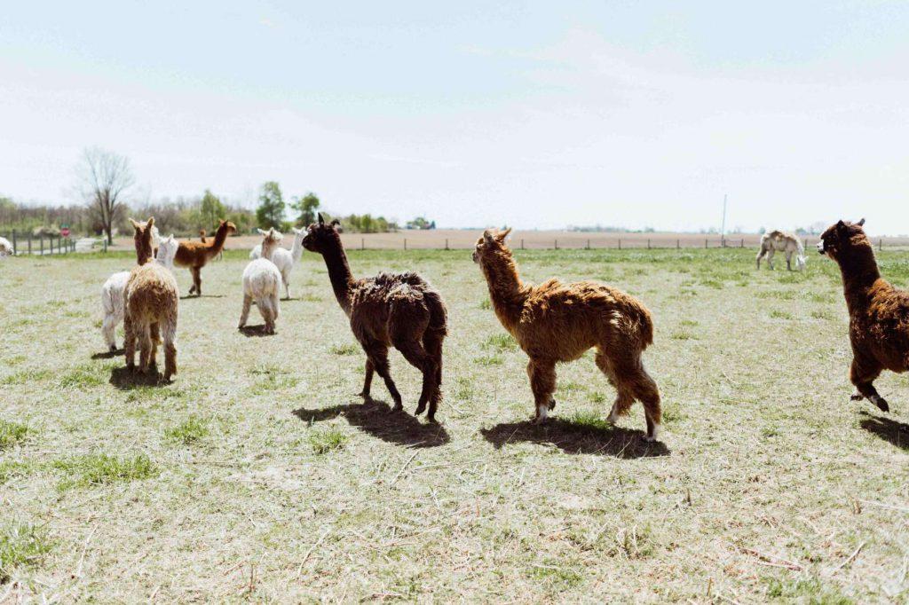 Heritage Farms Alpacas
